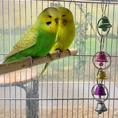 English Budgies for sale Dallas Texas