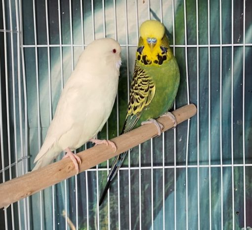 English-Budgies-For-Sale-Texas-Franklin-Bianca