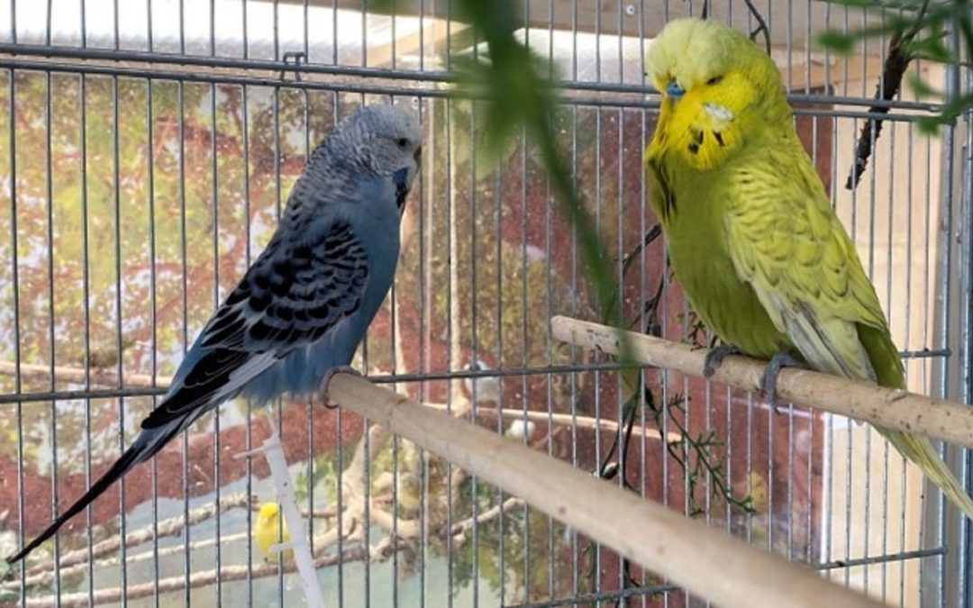 English Budgie Genetics for Breeders & Owners