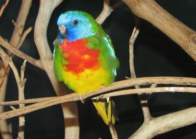 scarlet chest parakeet for sale Dallas Texas