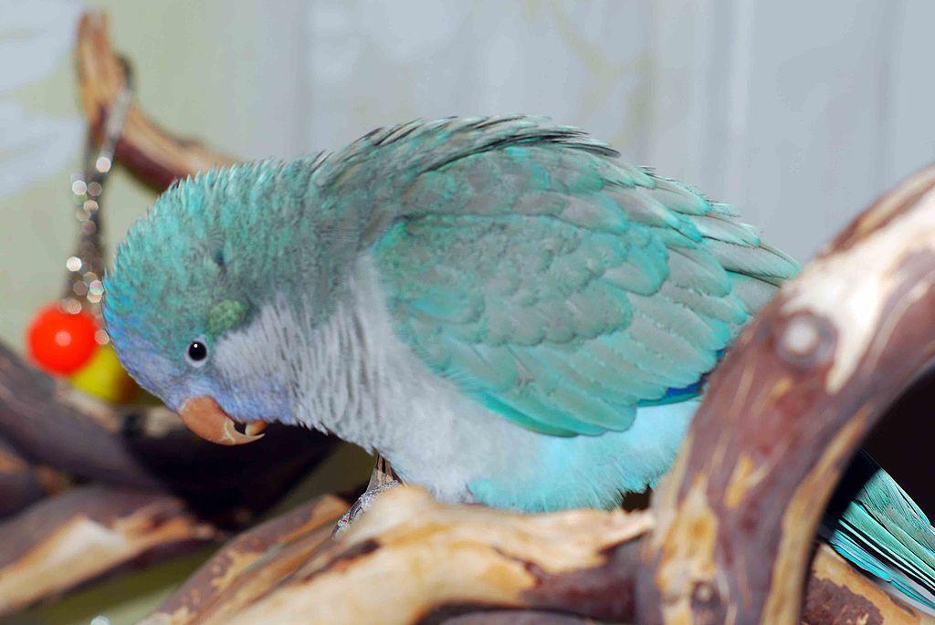 blue Quaker parrot