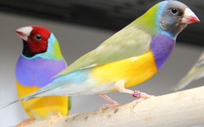 Pairing Gouldian Finches Pt. 7 | The Babies are Here!