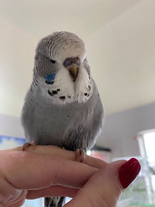 Hand tame budgie