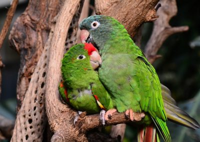 conure for sale in texas