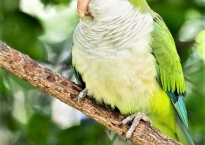 quaker parrot for sale near me