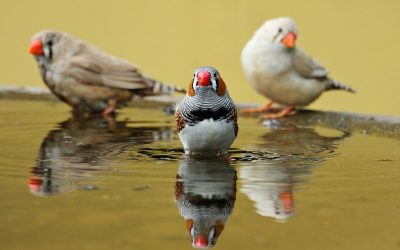 Zebra Finches diet, care, breeding and housing | Bird And Beyond