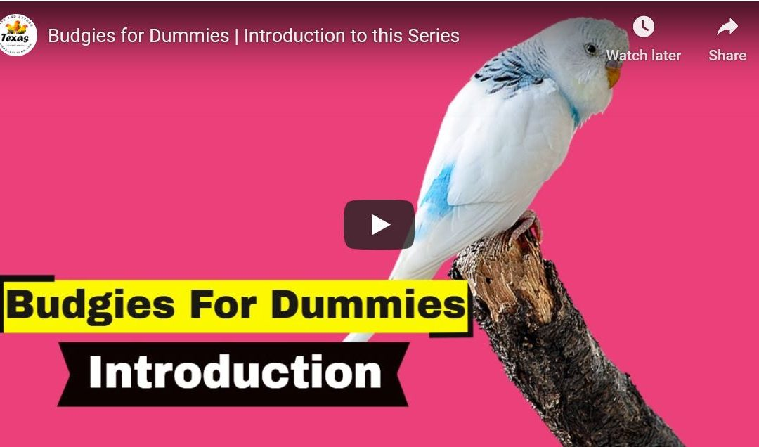Budgies for Dummies | Introduction to this Series