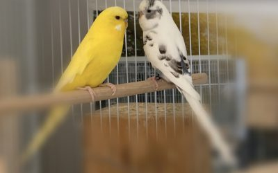 What is budgerigar? | Facts About Budgerigar aka Budgie