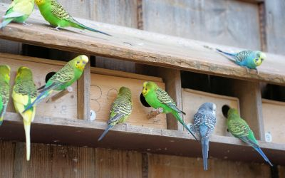 Brief Information About Budgie Colors And Budgie Varieties