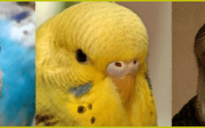 All You Need To Know About Your Budgies aka budgerigar