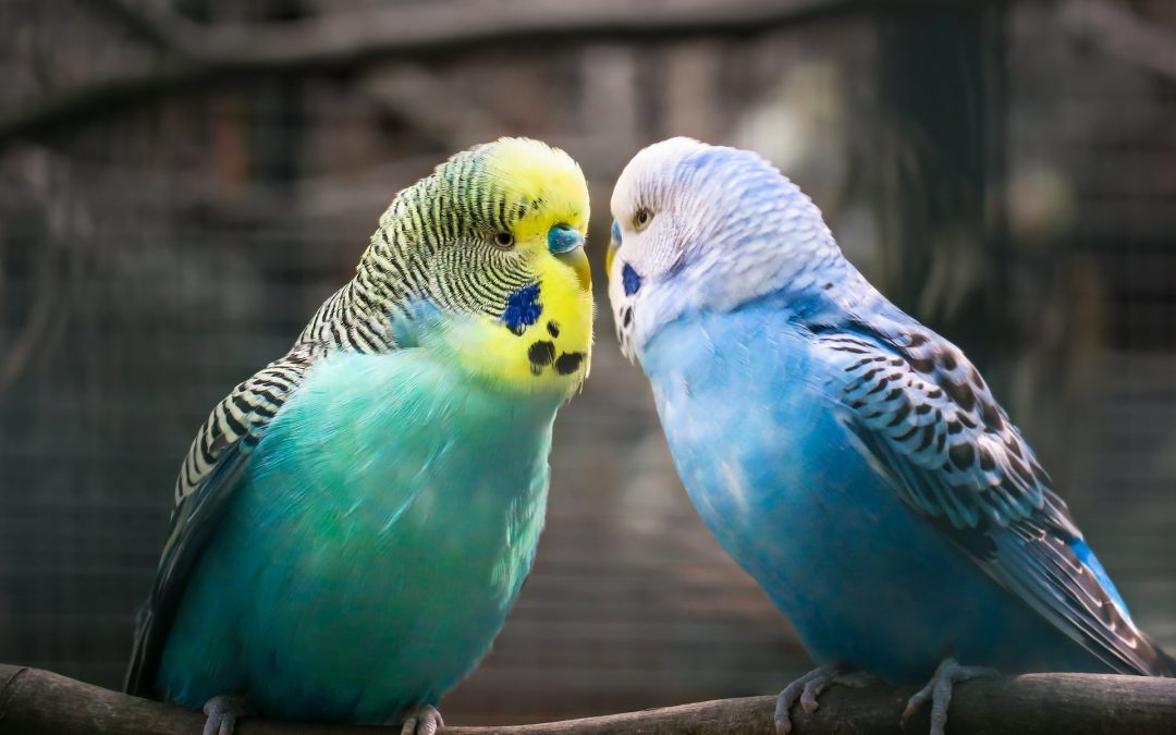Are There Different Types of Parakeets?
