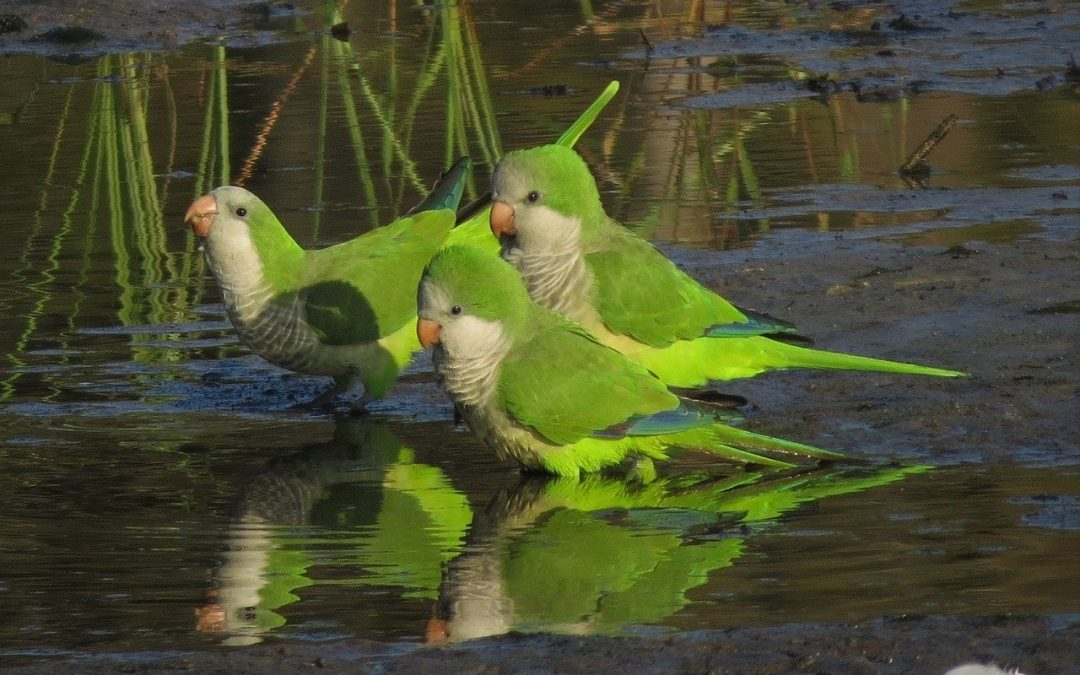 5 Amusing  Facts About Quaker Parrots