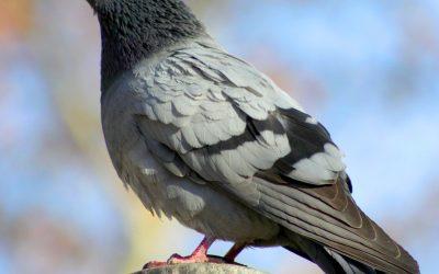 Common Pigeon Diseases