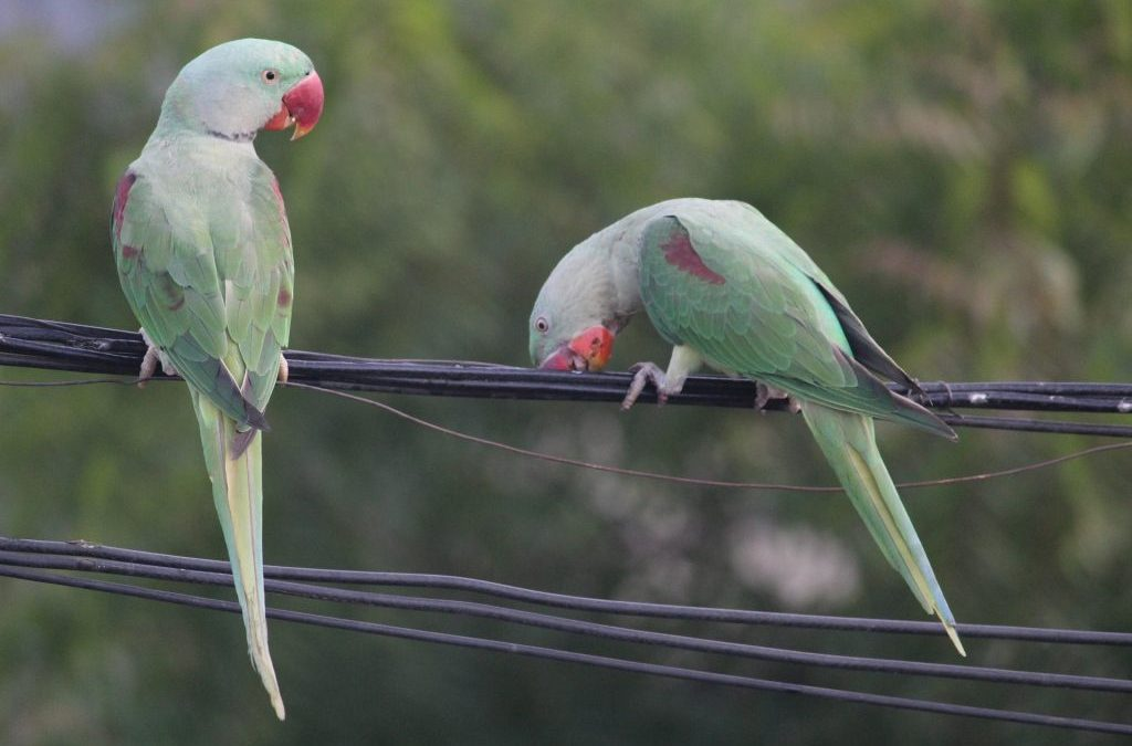 5 Interesting About Indian Ringneck Parakeets
