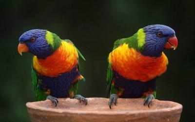 Rainbow Lorikeets: Bird Species Profile